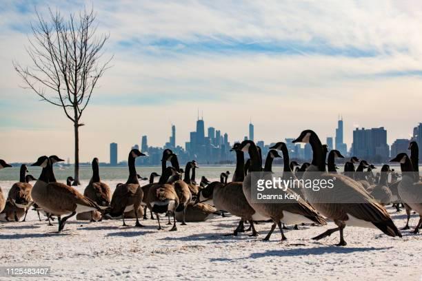 chicago skyline view with geese from montrose harbor - kanadagans stock-fotos und bilder