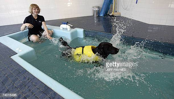 Lucy a black Labrador retriever goes through rehabilitation 13 April 2007 with physical therapist Tiffany Johnson at the Integrative Pet Care...