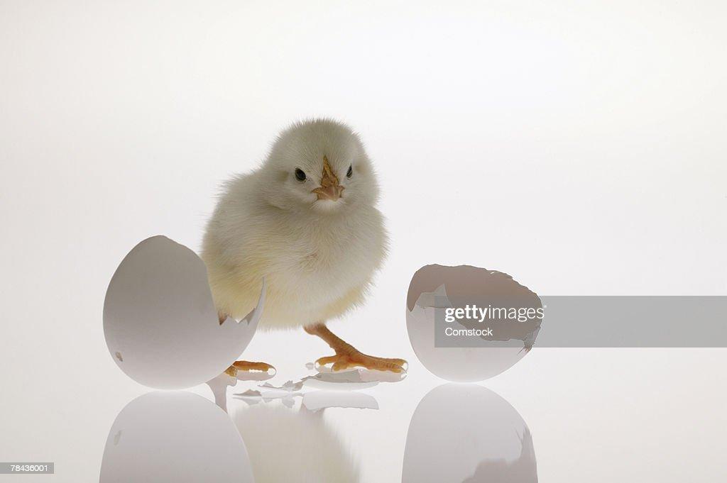 Chick and broken egg : Stockfoto