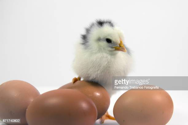 chick and eggs - funny rooster stock photos and pictures