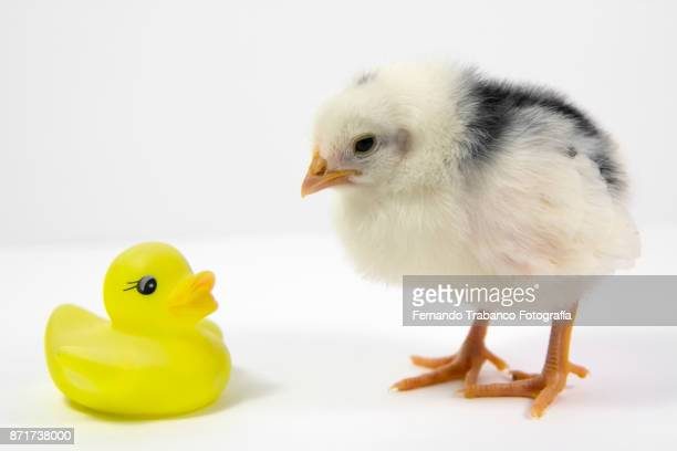 chick and rubber ducky - funny rooster stock photos and pictures