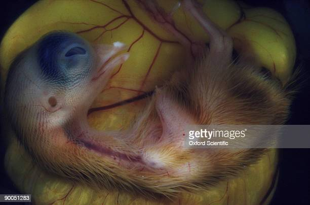 chick embryo gallus gallus 12 day old chick - day old chicks stock photos and pictures