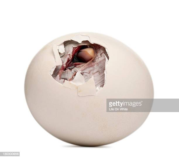 chick getting out of its egg - hatching stock pictures, royalty-free photos & images