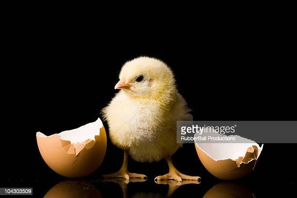 chick tratteggio da un uovo