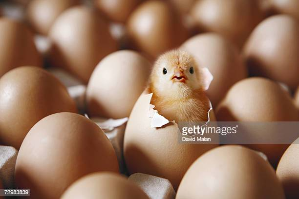 chick hatching from egg on egg tray - one animal stock pictures, royalty-free photos & images