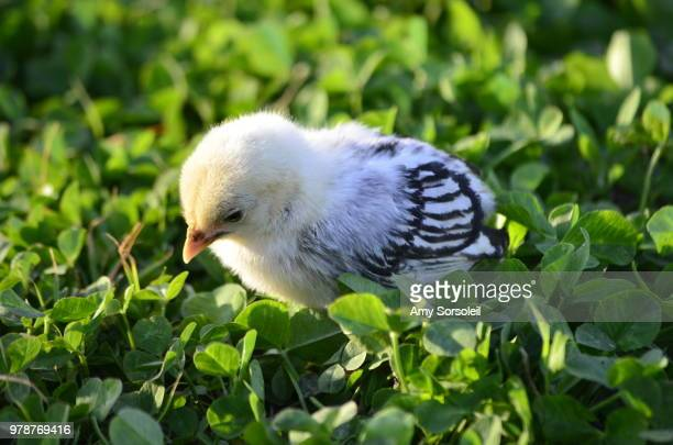 chick in clover grass - amy shamrock stock pictures, royalty-free photos & images