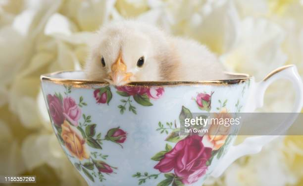 chick in teacup - ian gwinn stock pictures, royalty-free photos & images