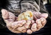 https://www.istockphoto.com/photo/chick-in-the-hand-gm848173264-139368651