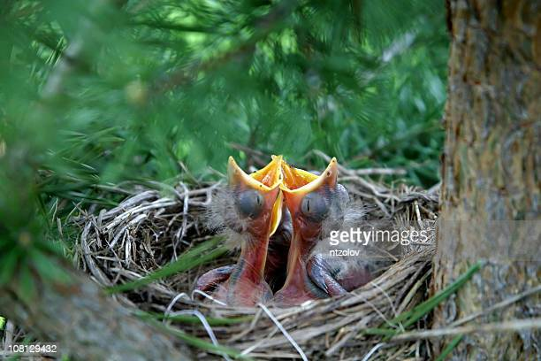 Chick en el nido