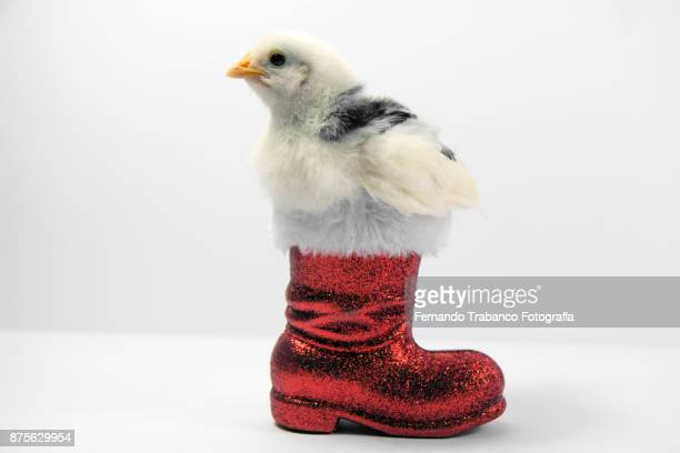 chick inside a santa claus boot - funny rooster stock photos and pictures