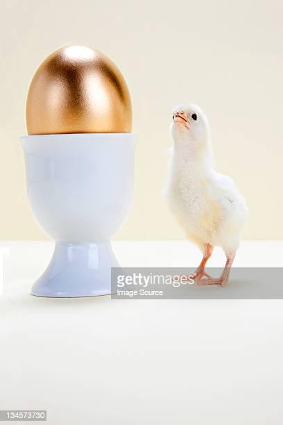 Chick looking at golden egg in eggcup, studio shot