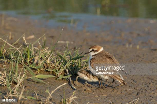 chick of a kentish plover hiding under adult - kentish plover stock pictures, royalty-free photos & images