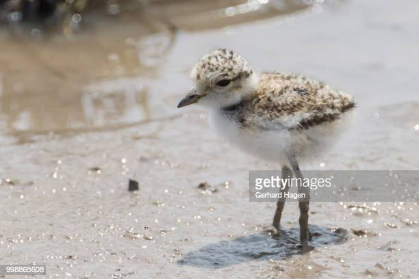 chick of a kentish plover standing in mud - kentish plover stock pictures, royalty-free photos & images