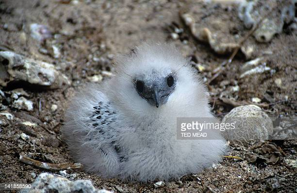 A chick of a Whitetailed Tropic Bird ( Phaethon lepturus) in a coastal depression nest site. Queensland, Australia.