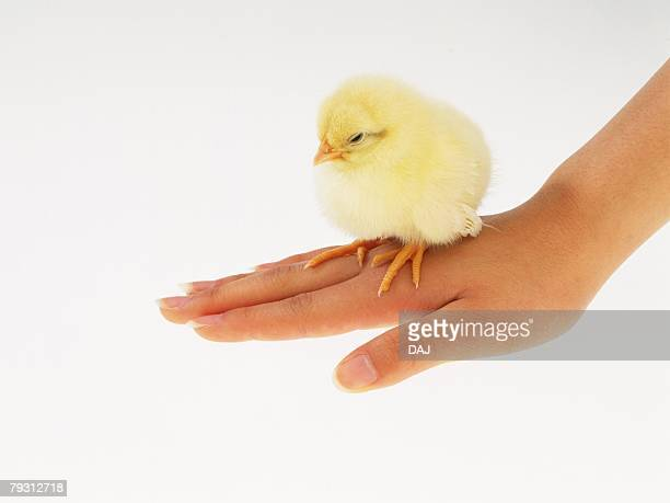 A Chick On Back of Hand, Close Up, Side View