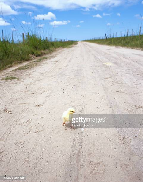 Chick on dusty track flanked by fields
