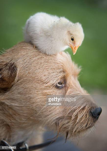 Chick sitting on the head of an Irish Terrier dog