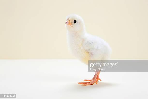 Chick, Fotografia da studio