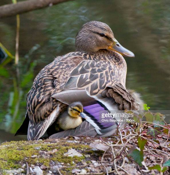 chick under duck mum's wing - duck bird stock pictures, royalty-free photos & images