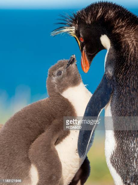 Chick with adult on Bleaker Island. Rockhopper Penguin . Subspecies Southern Rockhopper Penguin . South America. Falkland Islands. January.