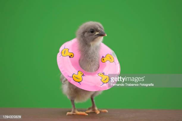 chick with float on green background - animal stock pictures, royalty-free photos & images