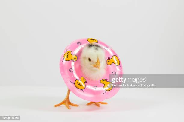 chick with float - funny rooster stock photos and pictures