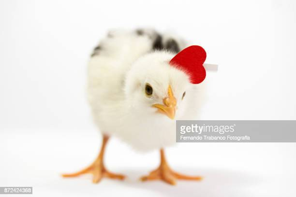 chick with red heart - funny rooster stock photos and pictures