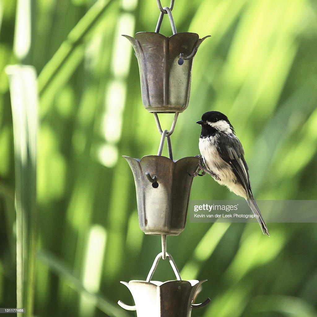 Chickadee hanging on chain : Stock Photo