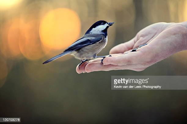Chickadee in girl hand