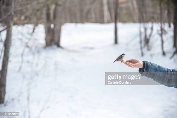 Chickadee landing on a person's hand in winter to eat