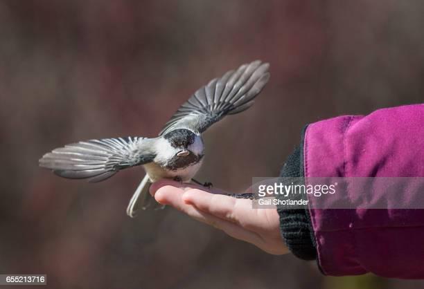 Chickadee on the Hand
