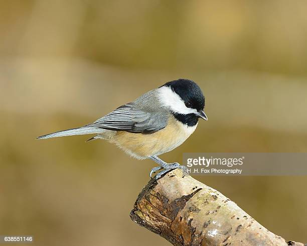 Chickadee Perched on Branch.