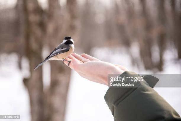 Chickadee perched on fingers looks at camera