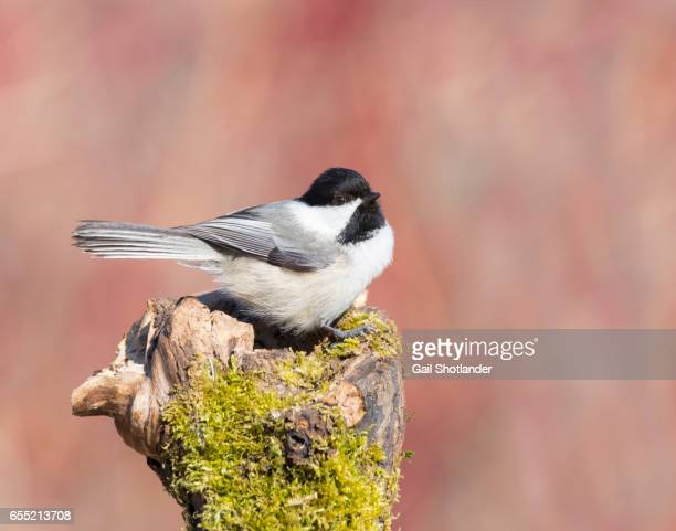 Chickadee Resting on the Stump