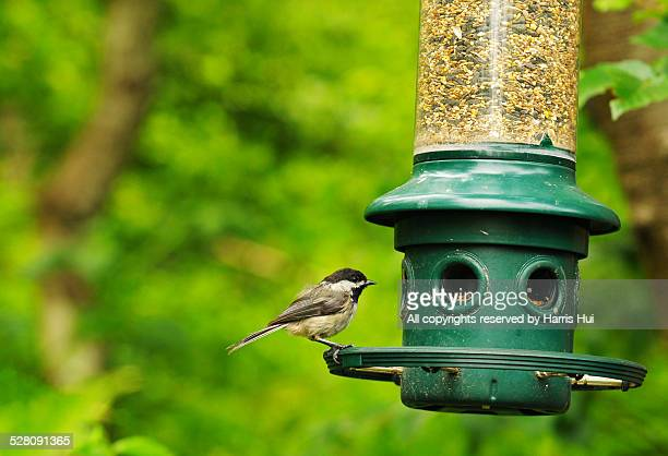 Chickadee Richmond Nature Park