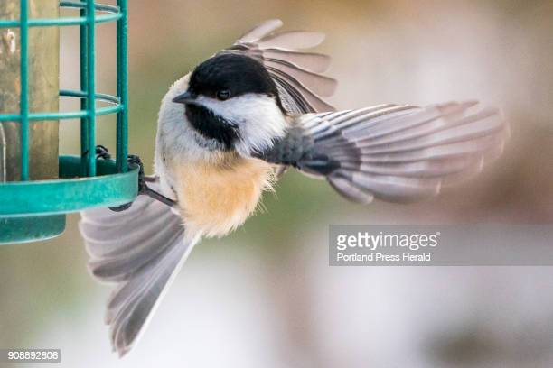 A chickadee takes flight from a nearby bird feeder as it heads toward Jean Stover of North Berwick who feeds the chickadees by hand in her back yard...