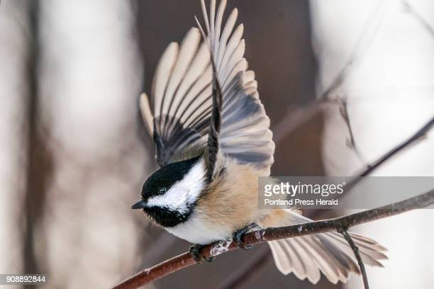 A chickadee takes flight from a nearby branch as it heads toward Jean Stover of North Berwick who feeds the chickadees by hand in her back yard...