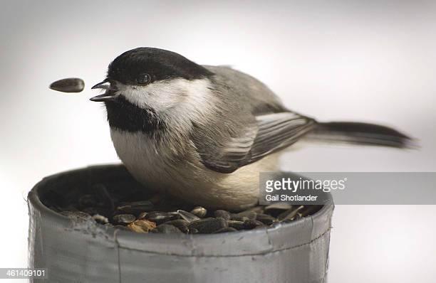 Chickadee - the seed gets away!