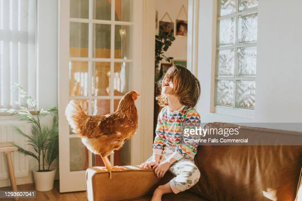chicken and a happy child together on a leather sofa in a sunny domestic room - pets stock pictures, royalty-free photos & images