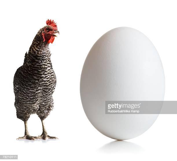 chicken and an egg - surdimensionné photos et images de collection