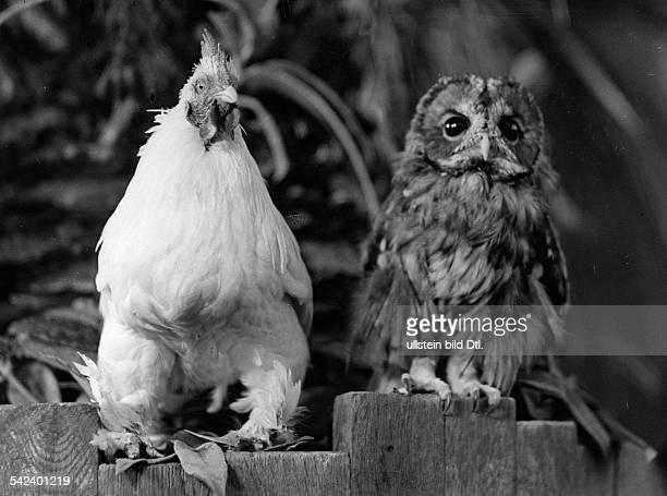 Chicken and an owl sitting next to each other - um 1935 Aufnahme: Friedrich Seidenstuecker - 1935 - Photographer: Seidenstuecker - Vintage property...