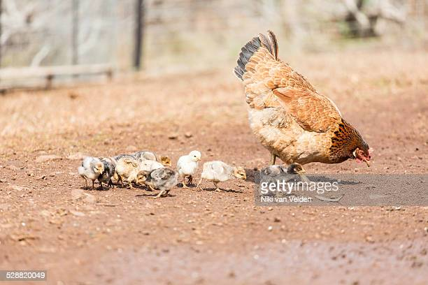 Chicken and chicks in farmyard
