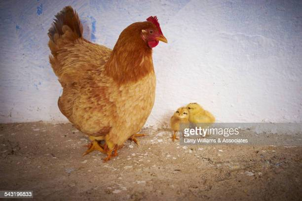 Chicken and chicks standing near white wall