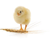 https://www.istockphoto.com/photo/chicken-and-wheat-gm1039972052-278424782