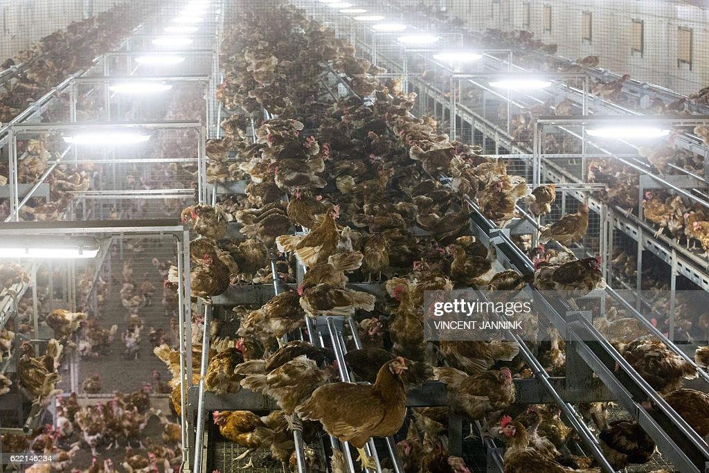 NETHERLANDS-ANIMALS-AGRICULTURE-HEALTH-BIRD-FLU : News Photo