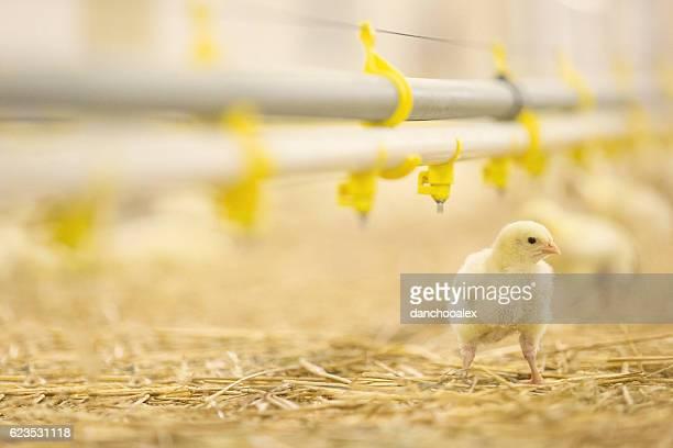 Chicken at farm drinking water
