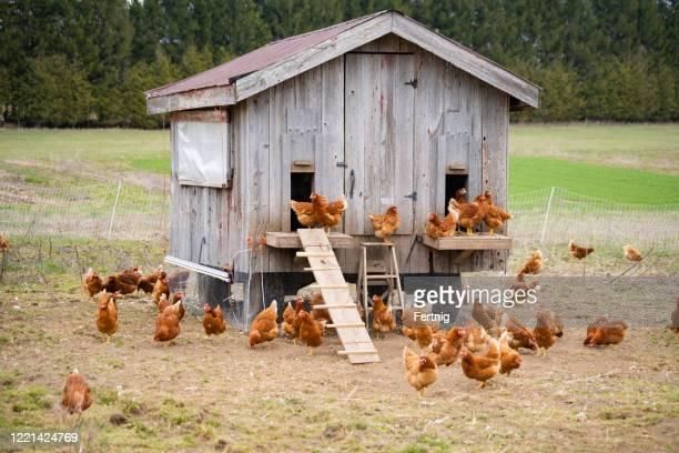 小規模で生態学的で持続可能な、コミュニティ共有農業農場の鶏小屋。 - 鶏小屋 ストックフォトと画像