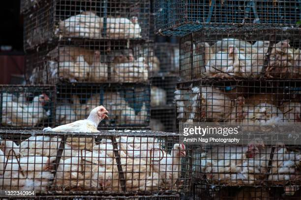chicken cooped up in cages at a butcher shop - tikka masala stock pictures, royalty-free photos & images