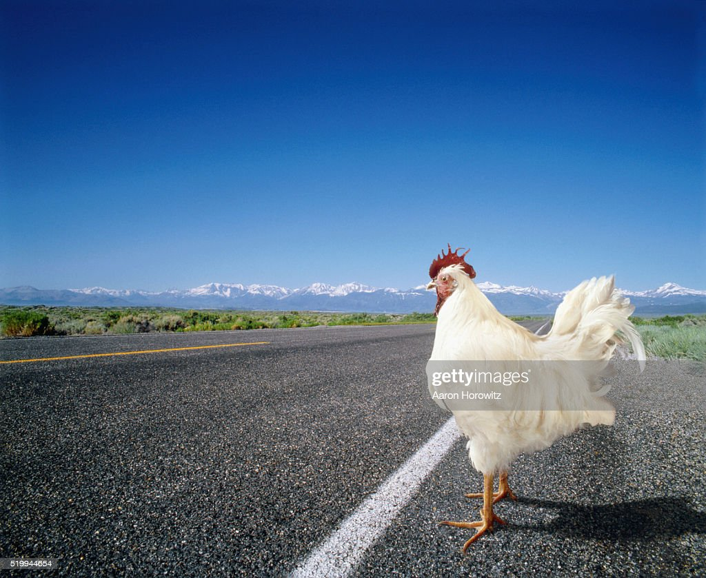 Chicken Crossing the Road : Stock Photo
