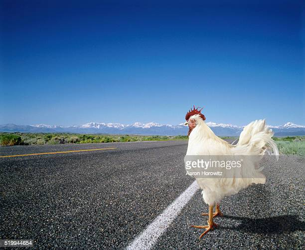 chicken crossing the road - funny rooster stock photos and pictures